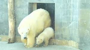 baby polar bear emerges from den at toledo zoo com