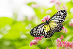 Images & Illustrations of butterfly flower