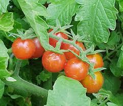 Tomat dapat melindungi prostat dari kanker