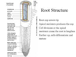 roots    meristem divide and then differentiate into epidermis  ground tissue  and vascular tissues  the dome shaped cell mass at the root tip is the root cap