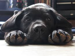 photo of sad black Labrador