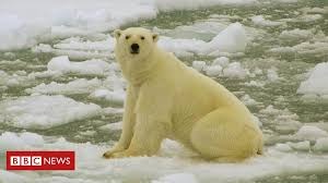 Russia islands emergency over <b>polar bear</b> 'invasion' - BBC News
