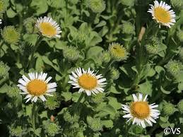 Erigeron glaucus 'White Lights' | California Flora Nursery
