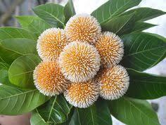 Image result for kadam tree