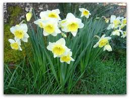 "daffodils ""ice follies"""