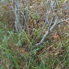 Salix cinerea (gray willow): Go Botany