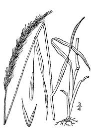 Elymus caninus - Wikipedia