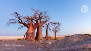 <b>Africa's</b> majestic baobab trees are <b>mysteriously</b> dying