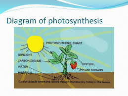 group  pr presentation   diagram of photosynthesis