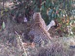 Leopards attack giant Rock Python in Kruger National Park | Daily ...