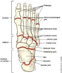 human anatomy  foot anatomy bones tendons skeletal systems ankle        foot anatomy bones pain in the back of the heel may suggest a problem with the