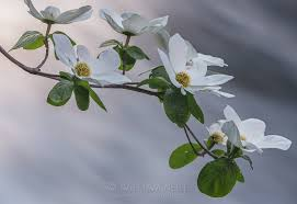 Image result for dogwood blossoms
