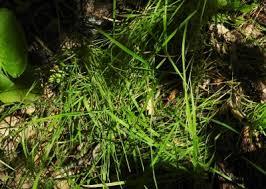 Agrostis stolonifera - Michigan Flora