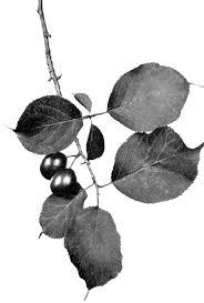 Prunus sect. Prunocerasus