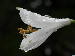 Image result for dew drops on lily