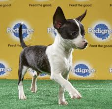 denver dog to star in puppy bowl  denver dog to star in puppy bowl