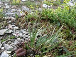 Carex bicolor — Wikipédia