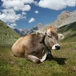 Images & Illustrations of cows