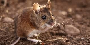 Damn Mice