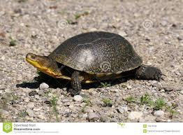 Hasil carian imej untuk walking turtle