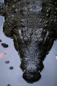 Can <b>Crocodiles</b> Digest Bones? | Animals - mom.me