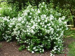 Image result for philadelphus belle etoile