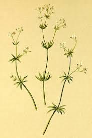 Galium pusillum – Wikipedia