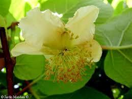 Resultado de imagen para imagenes de planta de kiwi