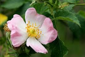 Rosa canina - Wikipedia