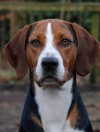Image result for foxhound