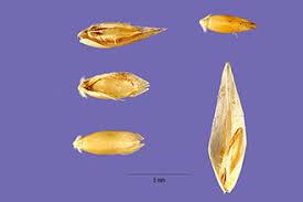 Plants Profile for Danthonia decumbens (common heathgrass)
