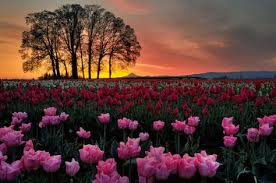 Bright <b>Pink Beautiful</b> Tulips! | Beautiful landscapes, Beautiful nature ...