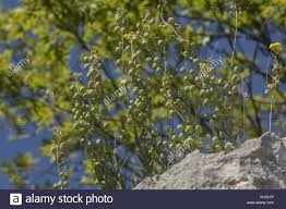 A yellow crucifer, Aurinia sinuata, Alyssoides sinuatum, in fruit; on ...