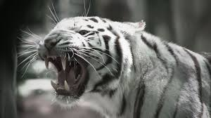 Image result for white siberian tiger images
