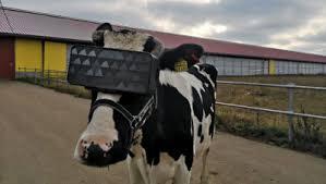 На подмосковной ферме тестировали VR <b>очки</b> для коров