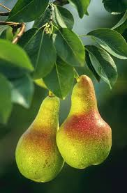 Hasil gambar untuk pear