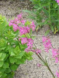 Silene viscaria - Wikipedia