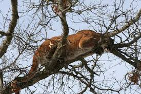 Image result for disorientated mountain lion picture