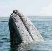 Image result for Humpback whale, California coast picture