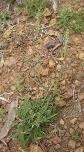 Tragus (plant) - Wikipedia