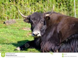 Image result for yak