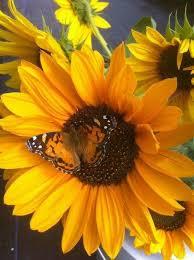 <b>Sunflowers</b> | <b>Sunflowers</b> | Подсолнухи, Цветок, Цветы