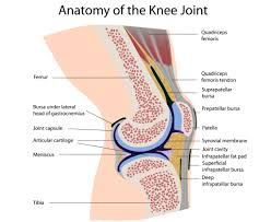 functional anatomy of the knee movement and stability the