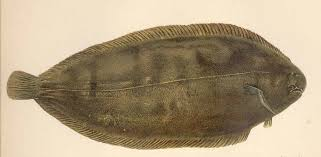 Common sole