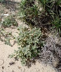 Silene succulenta · iNaturalist.org