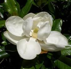9 Best Flemish technique painting a <b>magnolia</b> blossom images in ...