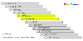 Linum austriacum subsp. collinum [Lino austriaco collinare] - Flora ...