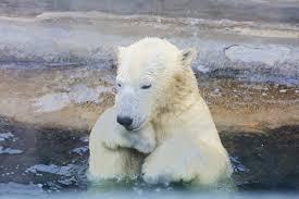 """Пытавшийся """"оживить"""" птицу белый медведь попал на видео ..."""