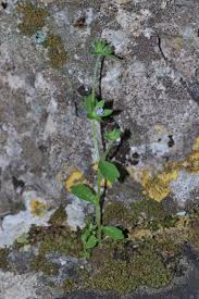 Campanula erinus - Wikipedia, la enciclopedia libre