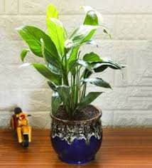 <b>Natural</b> Plants: <b>Buy Natural</b> Plants Online in India at Best Prices ...